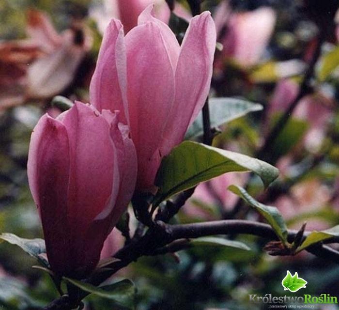 magnolia george henry kern c5 80cm sadzonki ro liny. Black Bedroom Furniture Sets. Home Design Ideas