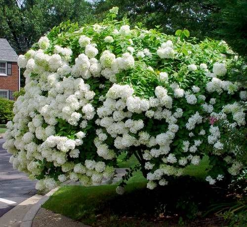 Hortensja bukietowa PHANTOM na PNIU Hydrangea paniculata C7,5/Pa80cm - Sadzonki, rou015bliny ozdobne ...
