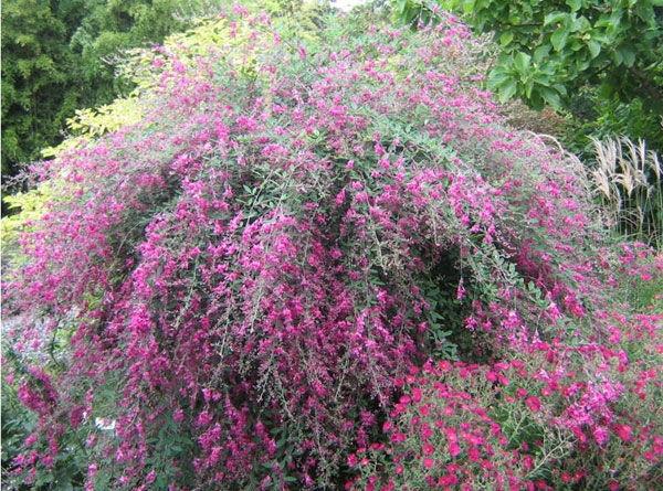 Lespedeza Bicolor Yakushima C3 Sadzonki Rośliny Ozdobne