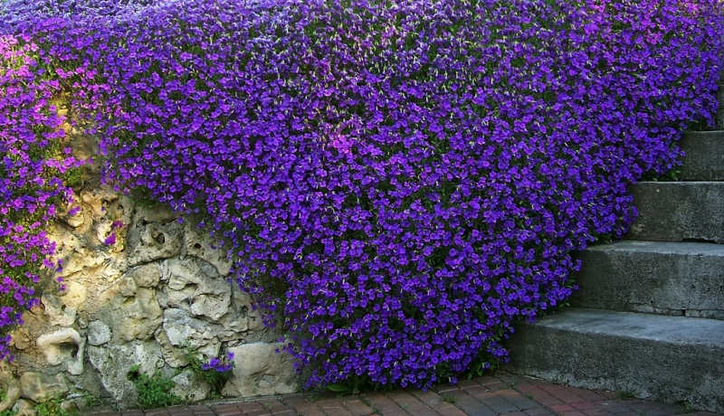 Żagwin ogrodowy BLAUMEISE Aubrieta x cultorum - Sadzonki, rośliny ozdobne, sklep ogrodniczy ...