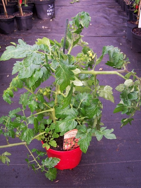 Pomidor Koktajlowy Tomaccio W Doniczce Sadzonki Rośliny