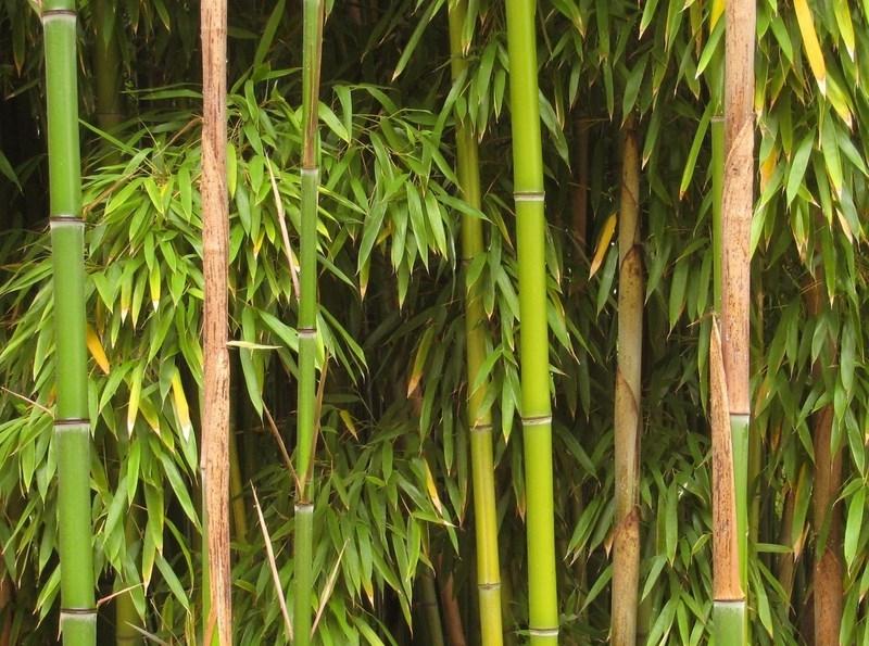 bambus ogrodowy phyllostachys bissetii sadzonki ro liny. Black Bedroom Furniture Sets. Home Design Ideas