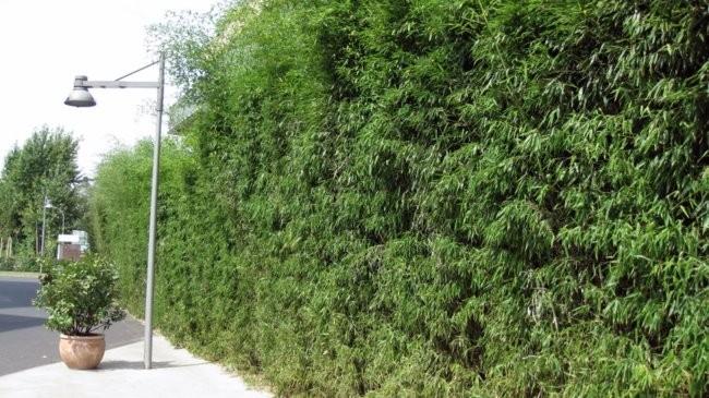 bambus ogrodowy phyllostachys bissetii sadzonki ro liny ozdobne sklep ogrodniczy ro liny. Black Bedroom Furniture Sets. Home Design Ideas