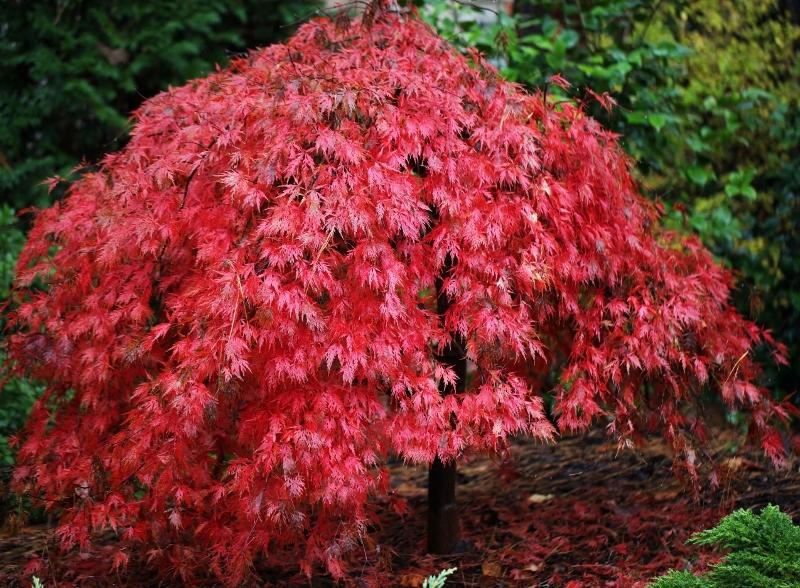 Zaktualizowano Klon palmowy ORANGEOLA Acer palmatum C3/60-80cm - Sadzonki KE94