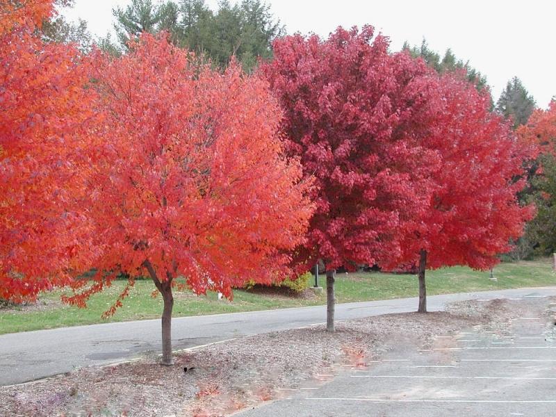 Wspaniały Klon czerwony Acer rubrum C2,5/1m - Sadzonki, rośliny ozdobne FA92