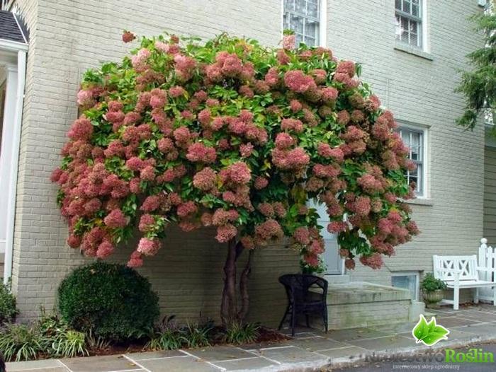 Hortensjowe drzewko Hortensja bukietowa Pee Gee na pniu GRANDIFLORA C5/Pa70cm - Sadzonki ...