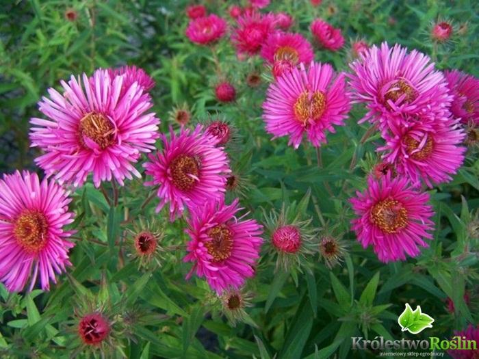 Aster Nowoangielski Barrs Pink C2 Sadzonki Rośliny