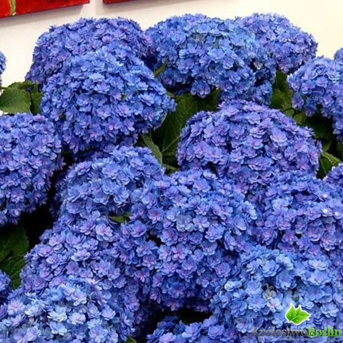 Hortensja ogrodowa z serii You & Me Romance - Sadzonki, rosliny ...